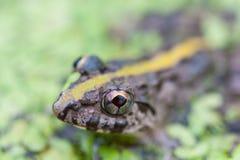 Grenouille dans le marais parmi la lenticule Photo stock
