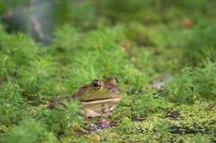 Grenouille dans un étang Image libre de droits