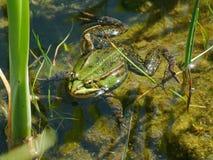 Grenouille dans un étang Photographie stock libre de droits