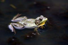 Grenouille dans un étang Photo stock