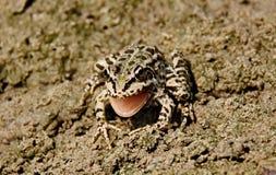 """Grenouille de """"chant """" Grenouille verte sur un marais amphibies Les grenouilles peuvent produire un large éventail de signaux son image stock"""