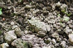Grenouille de camouflage Photo stock