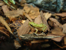 Grenouille de chéri photo stock
