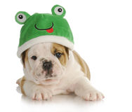 Grenouille de chiot Photos stock