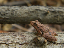 Grenouille de cricket du nord Images stock