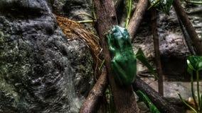 Grenouille de forêt image libre de droits
