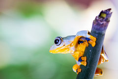 Grenouille de jungle dans l'environnement naturel Image libre de droits