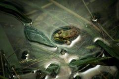 Grenouille de léopard Image stock