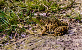 Grenouille de léopard photo libre de droits