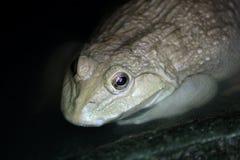 Grenouille de l'eau dans la ferme de grenouille Image stock