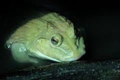 Grenouille de l'eau dans la ferme de grenouille Photographie stock libre de droits