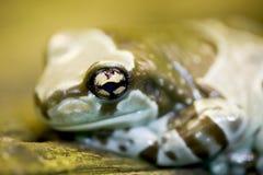 Grenouille de lait d'Amazone - resinifictrix de Phrynohyas Images libres de droits