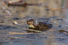 Grenouille de marais Image libre de droits