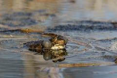 Grenouille de marais Photos libres de droits