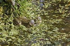 Grenouille de marais, ridibunda de Rana images stock