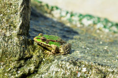 Grenouille de mer verte sur la pierre Photos libres de droits