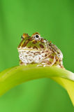 Grenouille de Pacman Photo stock