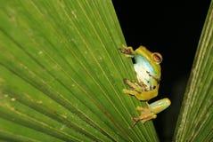 Grenouille de palmier se reposant sur un congé, Mindo, Equateur Photo stock
