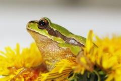 Grenouille de prince en fleur de pissenlit Photo libre de droits