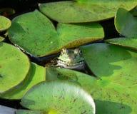 Grenouille de sourire dans un étang de garniture de lis Image stock