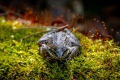 Grenouille de terrain communal d'Européen Grenouille Temporaria commun de Rana de grenouille Foyer sélectif de grenouille brune d Photos libres de droits