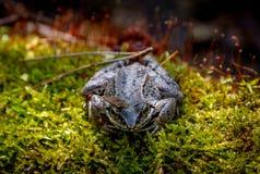 Grenouille de terrain communal d'Européen Grenouille Temporaria commun de Rana de grenouille Foyer sélectif de grenouille brune d Photo libre de droits