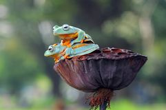 Grenouille de vol, grenouilles, grenouille d'arbre, Images libres de droits