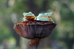 Grenouille de vol, grenouilles, grenouille d'arbre, Photo libre de droits