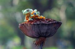Grenouille de vol, grenouilles, grenouille d'arbre, Photographie stock libre de droits