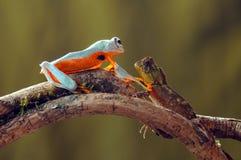 Grenouille de vol, grenouilles, grenouille d'arbre, Image stock