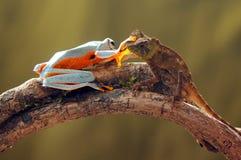 Grenouille de vol, grenouilles, grenouille d'arbre, Photo stock