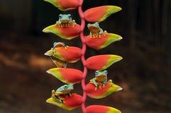 grenouille de vol, grenouilles, grenouille d'arbre, amphibies, animaux, macro, macro photographie, photographie animale, photos d photos stock