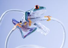 Grenouille de Web Photos stock