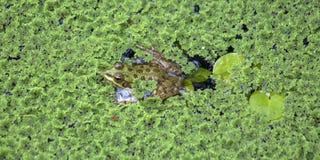 Grenouille des points entre les plantes aquatiques vertes image stock