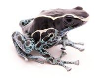 Grenouille deying masculine de dard de poison, tinctorius de Dendrobates Images libres de droits