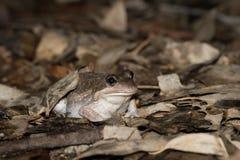 Grenouille du sud de banjo dans des feuilles humides, marécages de Laratinga, Australie du sud Photos stock