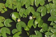 Grenouille embrassant lilly des couleurs de fleur Photographie stock