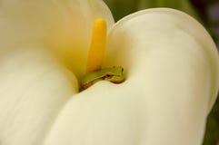 Grenouille en fleur Photo libre de droits