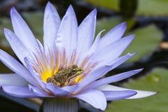 Grenouille en fleur Photographie stock