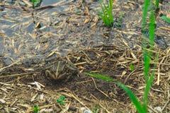 Grenouille en rivière de déchets pollution environnementale ?cologique de photo de crise photos libres de droits