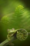 Grenouille en verre dans la forêt amazonienne Image libre de droits