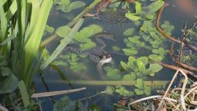 Grenouille et frai de grenouilles dans l'étang de jardin banque de vidéos
