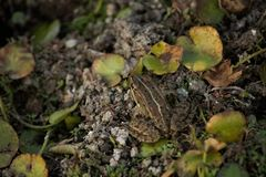 Grenouille et leafage photographie stock