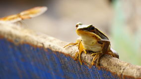 Grenouille et mouches Image stock