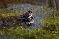 Grenouille et oeufs communs de Brown au printemps Photos libres de droits