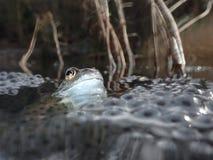 Grenouille européenne ou commune, temporaria de Rana, entouré par le frai de grenouilles Étang de Blackford, Edimbourg photographie stock libre de droits