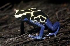grenouille exotique Photographie stock libre de droits