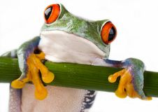Grenouille folle Photographie stock