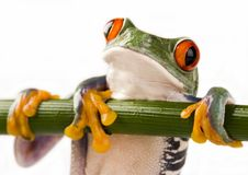 Grenouille folle image stock