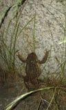 Grenouille folle Image libre de droits